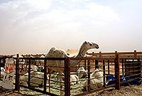 全球最大骆驼交易市场