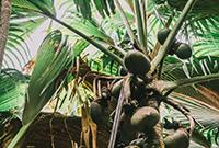 """塞舌尔的国宝""""海椰子"""""""
