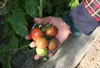 有故事的西红柿