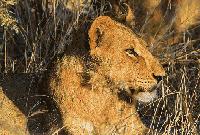 狮群,非洲草原的骄傲