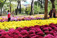 北京植物園:菊花海香滿園