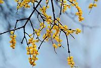 寄生在别家树上的黄金果