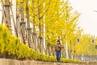 上海銀杏大道美如畫