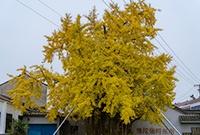 這棵古銀杏堪稱樹堅強