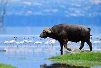 非洲野水牛长这样