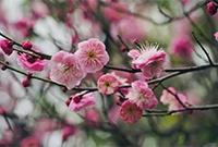 梅花吐蕊迎春绽放