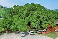 千年古树独木成林