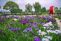 五月去赏花菖蒲吧
