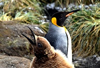 企鵝母子如何交流