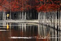 池杉為何能在水中屹立不倒