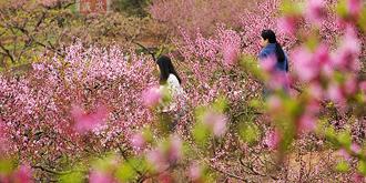 三月桃花朵朵开