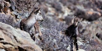 贺兰山岩羊的幸福生活
