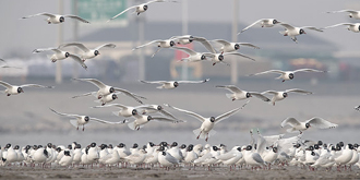 实拍:万余只遗鸥迁徙