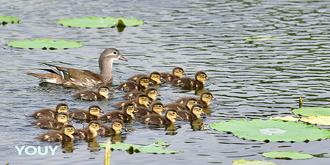 鸳鸯妈妈生了19只小宝宝