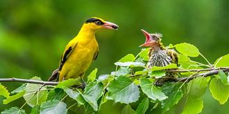 黄鹂鸟育雏