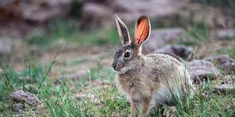野兔的耳朵为什么那么红
