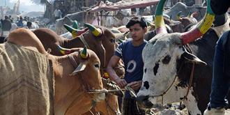 孟加拉路边牛市好壮观