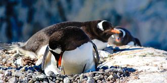 实拍企鹅筑巢