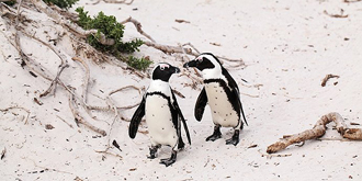 南非企鵝是一夫一妻制