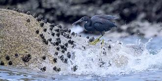 生活于岩壁海岸的鸟