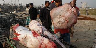 又见渔民捕获大鱼