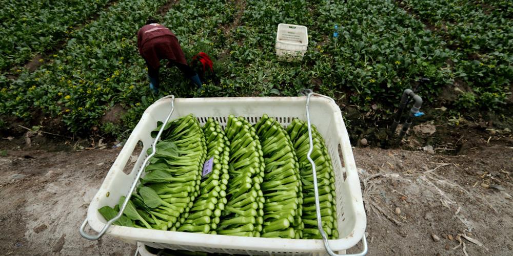 采菜工一天摘菜300斤