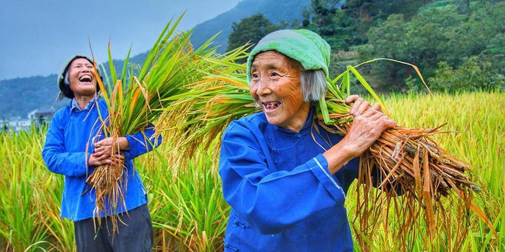 难得一见的传统水稻收割