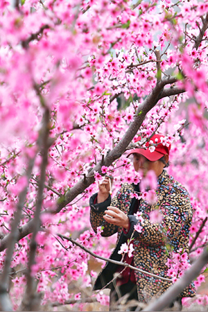 临沂万亩桃花绽放成海
