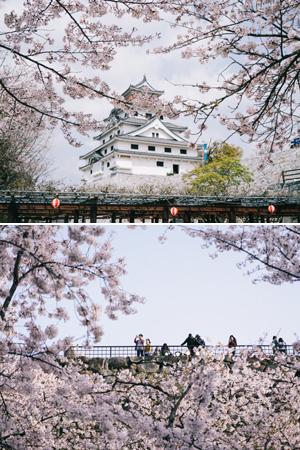 在日本小城偶遇一场樱花雨