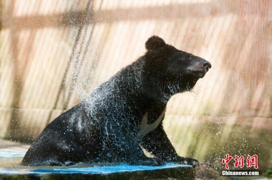 资料图:黑熊。黄威鸣 摄