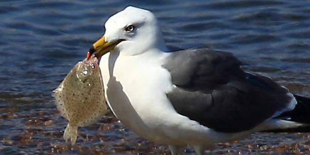 海鸥真有口福天天都吃多宝鱼