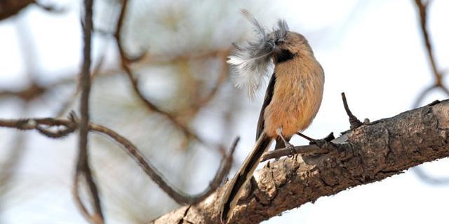 忙碌筑巢的银喉长尾山雀