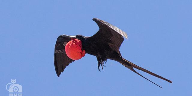 """军舰鸟:带""""红气球""""求偶"""