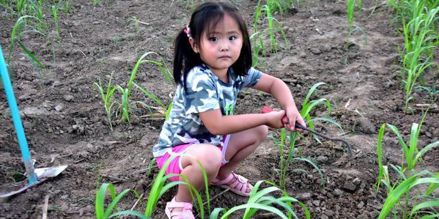 小女孩谷子地里干农活有模有样