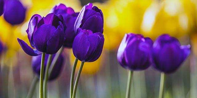 惊艳灵动的植物园郁金香