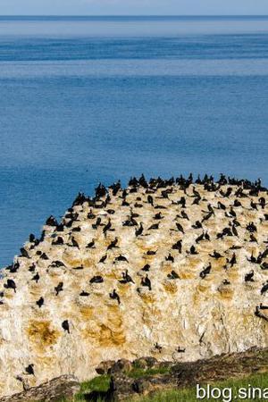 青海湖迎来鸬鹚繁殖季