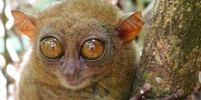"""眼镜猴的三个""""最"""""""