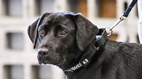 一只搜爆犬是如何被CIA开除的?