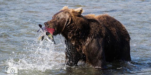 在俄罗斯拍到棕熊捕鱼的瞬间