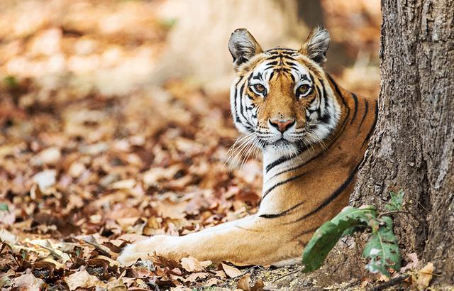 南亚次大陆上的动物世界,孟加拉虎奇遇记