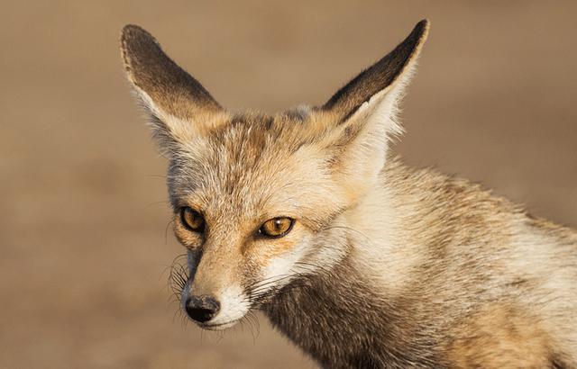 印度沙漠狐,荒芜干燥盐沼中的精灵