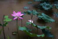 雨中荷花的纯净之美