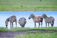 實拍非洲特產斑馬