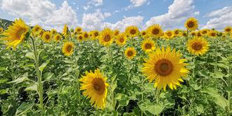 法国盛夏向阳花开