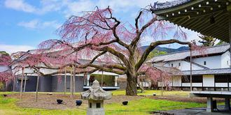 京都赏樱,去醍醐寺吧