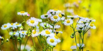 野菊花也有春天