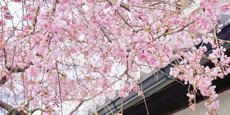 京都寻樱之旅