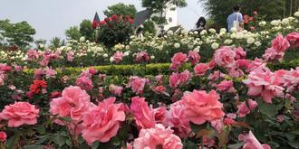玫瑰花海,怎么拍都美