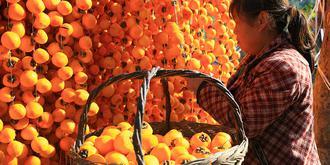 因盛产柿子而闻名的小村庄