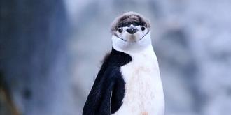 南极超萌帽带企鹅